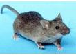 Krmivo-myš